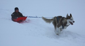 Катание на собаках в Токсово
