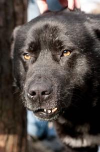 Карельская собака Мишка