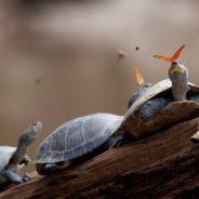 Пример симбиоза — бабочки и черепахи